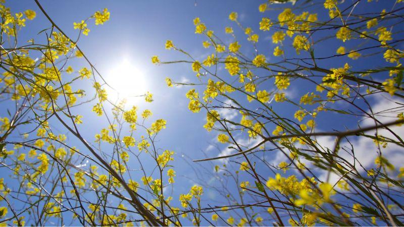 flori galbene pe ramuri primavara